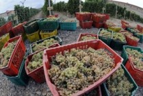 Panic among Armenia grape purveyors