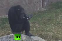 Ծխող շիմպանզեն Հյուսիսային Կորեայում դարձել է հիթ  (Տեսանյութ)
