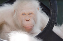 Уникальному орангутану-альбиносу сделали собственный остров (Видео)