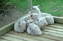 Չինաստանում ներկայացրել են բենգալյան սպիտակ վագրի ձագերի (Տեսանյութ)