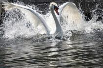 На Темзе пересчитывают лебедей (Видео)