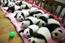 Детский сад для панд (Видео)