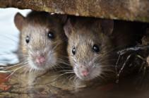 Подопытные крысы «прогрессирующего» Азербайджана
