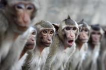 В Индии обезьяны насмерть закидали мужчину кирпичами