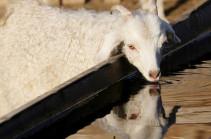 В Париже мужчина украл козу и парализовал метро