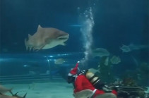 Акулы тоже празднуют Новый год (Видео)