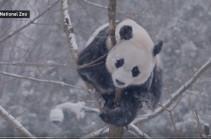 Ролик с кувыркающейся в снегу пандой набирает популярность в Сети (Видео)