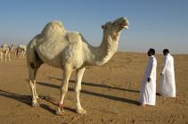Роботы приняли участие в верблюжьих бегах