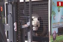 Из Китая в столицу Австрии отправился бамбуковый мишка (Видео)