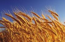 Ցորենի և շրոտի փոխադրման սակագնային դրույքաչափերը նվազել են 52%-ով