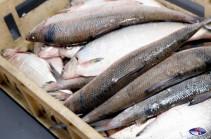 Անօրինական ձկնորսությամբ զբաղվողները սիգը Սևանում վաճառում են 30-40-50 դրամով, իսկ Երևանի ռեստորաններում այն 2-3 հազար դրամ է. Նախարար