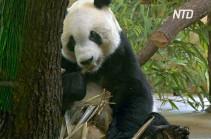 В Австрии представили новоприбывшую большую панду (Видео)
