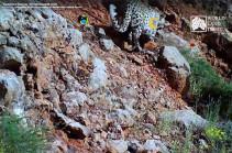 Տեսախցիկը հայաստանյան լեռներում կրկին հովազ է ֆիքսել (Տեսանյութ)