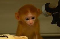 Приматы на пенсии: в США открыт приют для лабораторных обезьян (Видео)