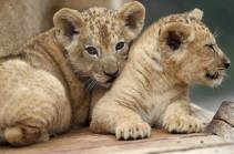 Берберских львят показали в чешском зоопарке (Видео)