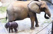 Վիեննայի կենդանաբանական այգում ներկայացրել են նորածին փղիկին (Տեսանյութ)