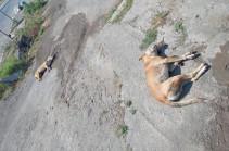 Կենդանիների դաժան սպանդ՝ Էջմիածնում, սպանվել են նաև քաղաքապետարանի կողմից ստերջացված շներ. Econews.am