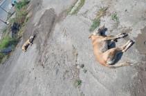 Հուսով եմ՝ կարճ ժամանակում մեղավորները կհայտնաբերվեն, և նոր դեպքերը կկանխվեն. Էջմիածնի քաղաքապետը՝ շների սպանդի մասին