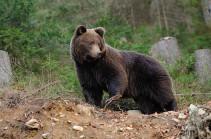 Медведь загрыз композитора в Канаде