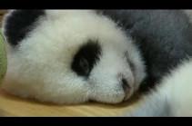 Неторопливая серая панда стала звездой зоопарка. Видео