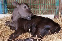 Ճապոնիայում սատկել է աշխարհում առաջինը կլոնավորված զույգ կովերից մեկը