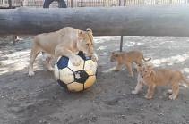Львы барнаульского зоопарка играют в футбол (Видео)