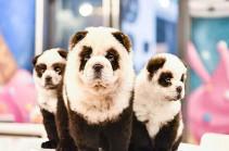 Չինաստանում սրճարանի տերը շներին պանդաների է վերածել (Տեսանյութ)