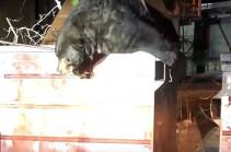 Как медведь в контейнере застрял (Видео)