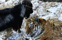 В Приморье умер козел Тимур, прославившийся своей дружбой с тигром