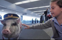 Свинотерапия как средство от аэрофобии (Видео)