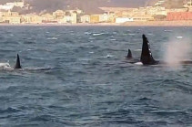 Косатки у берегов Генуи (Видео)