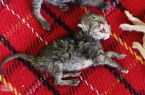 В Таиланде родился котенок с двумя головами (Видео)
