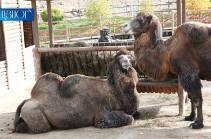 Camel died in Yerevan Zoo, cause unclear: EcoNews