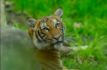 BBC: Tiger at Bronx Zoo tests positive for Covid-19
