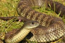 Արցախում արձանագրվել է օձի խայթոցի 10 դեպք