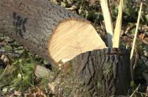 «Հայանտառ» ՊՈԱԿ-ի տարբեր տեղամասերից ծառեր են ապօրինի հատվել