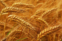 Կառավարությունը նախատեսում է սուբսիդավորել կամ փոխհատուցել աշնանացան ցորենի սերմերի գինը