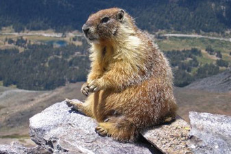Marmot Day to be celebrated today