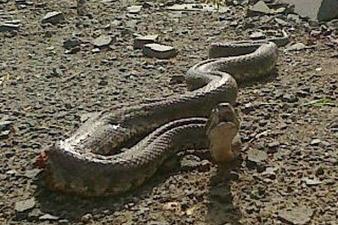 Երևանի բակերից մեկում գյուրզա տեսակի օձ է հայտնաբերվել