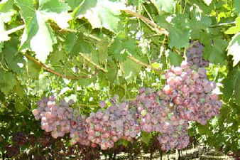 Areni wine-making industry 6 thousand years old