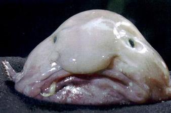 Image result for ամենատգեղ ձուկը