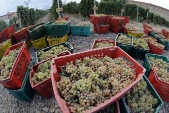 Panic among Armenia grape purveyors