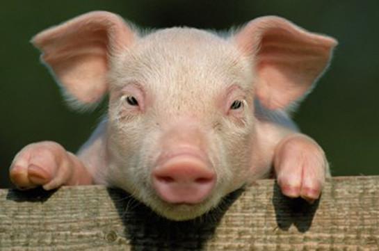 Армения ввела запрет наимпорт украинской свинины— Госслужба