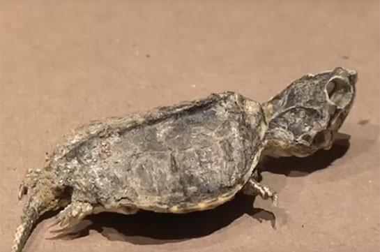 Окаменелость черепахи возрастом 65 млн лет нашли в Мексике