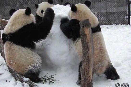 В канадском зоопарке панды напали на снеговика