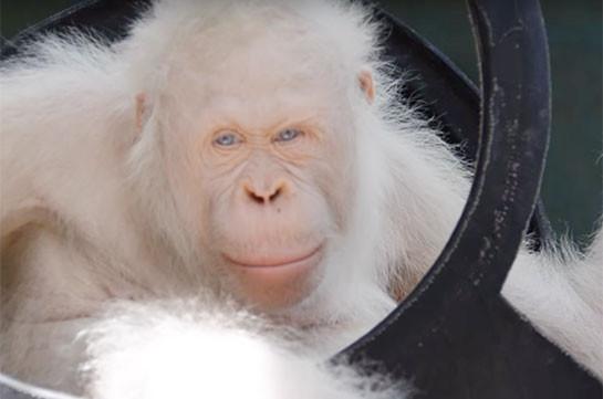 Уникальному орангутану-альбиносу сделали собственный остров
