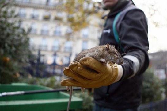 Париж атаковали полчища крыс