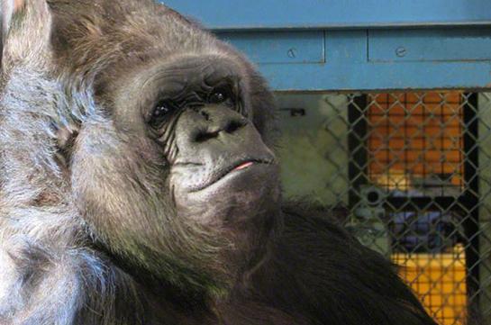 Взоопарке Сан-Диего погибла одна изстарейших вмире горилл