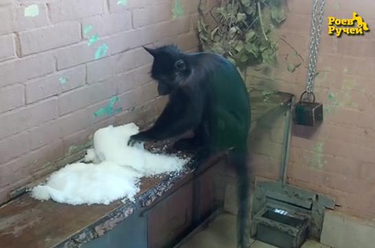 Обезьянам в российском зоопарке впервые в жизни показали снег