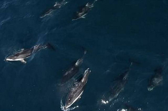 У берегов США полторы тысячи дельфинов плыли вокруг двух китов